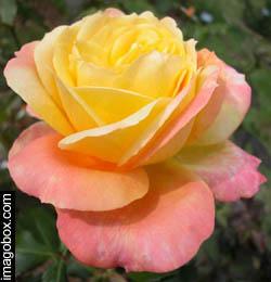 2p for Ruggine delle rose